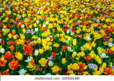 Focus colorful tulips in garden,Sun shine to beautiful tulips in the spring time ,bright sun light to tulips flowers good natural flowers background in Japan.