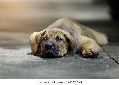 The focus the eye. Fila brasileiro puppies sleeping, tired after running around in the air very well.