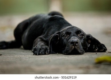The focus the eye.Black Fila brasileiro puppies sleeping, tired after running around in the air very well.