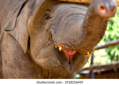 focus to the eyes of baby elephant is smiling and held its trunk over