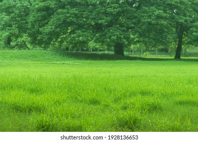 Focus to front group of fresh green grasses in the field and blurred big green trees with sunrise background, Selective focus and copy space.