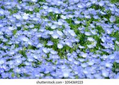 Focus Nemophila garden, Nemophila full bloom in blue purple in Hitachi seaside park in spring season, Hill of Nemophila flowers, Baby blue eyes flowers  in Ibaraki, Japan, focus on foreground.