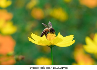 Focus on the bee on yellow flowers