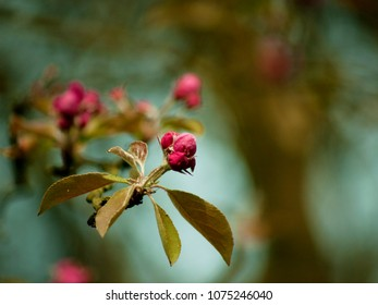 focus on blooming cherry pink buds on the tree, symbol of spring, blurred tree branches in the background