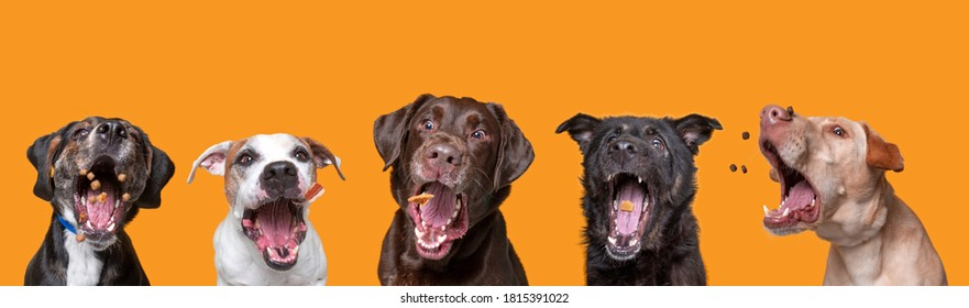 FOCUS on EYES of shelter dogs on an isolated background studio shot catching treats