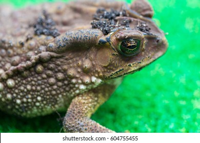 Focus on the green toad eyes reflecting grass.
