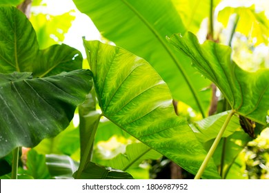 Focus on the left leave. Plan with giant leaves, very large leaves, called the giant elephant's ear (Alocasia macrorrhiza). The leaves are water-repellent, aquaphobic.