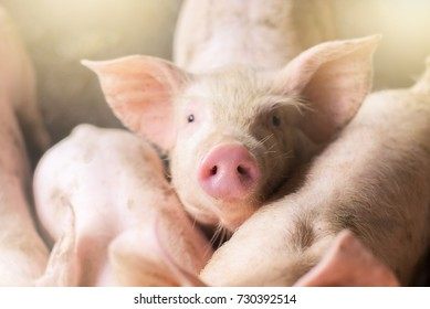 Focus is on nose. Shallow depth of field. pigs at the farm. Meat industry