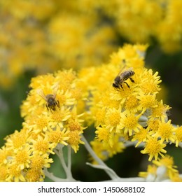 Focus on one busy honeybee which is licking nectar on yellow flower heads of a plant. The working bee is surround by another busy bee and yellow flower blossoms of the shrub.