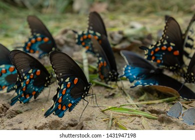 Focus on One Butterfly in Group Feeding on Ground