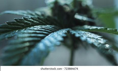 Focus on a piece of cannabis leaf