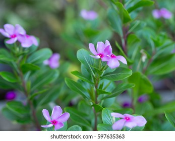 focus on pink vinca flowers or madagascar periwinkle with blurred background