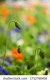 Focus on poppy flowers almost ready to blossom, spring flower