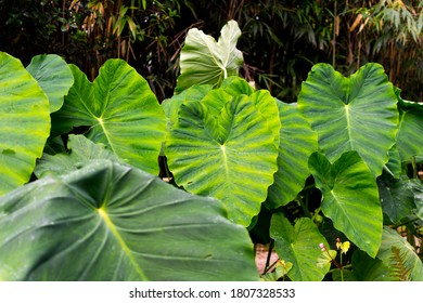 Focus on the row of leaves in the back.  Plants with giant leaves, very large leaves, called the giant elephant's ear (Alocasia macrorrhiza). The leaves are water-repellent, aquaphobic