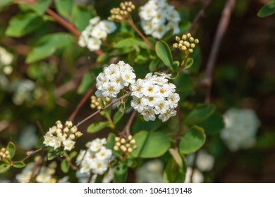 Focus on a small group of white Spiraea flowers
