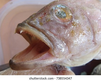 Focus on small and sharp teeth of grouper, this fish has a stout body and a large mouth, not has many teeth on the edges of its jaws, but it has heavy crushing tooth plates inside the pharynx