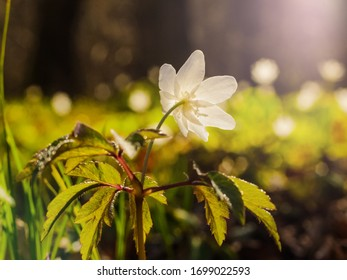 Plant Of Immortality Images Stock Photos Vectors Shutterstock