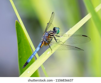 Focus Stacked Close-up Image of a Blue Dasher Dragonfly on a Reed in a Pond