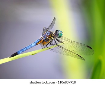 Focus Stacked Closeup Image of a Blue Dasher Dragonfly of a Pond Reed