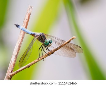 Focus Stacked Close-up Image of a Blue Dasher Dragonfly on a Twig in a Pond