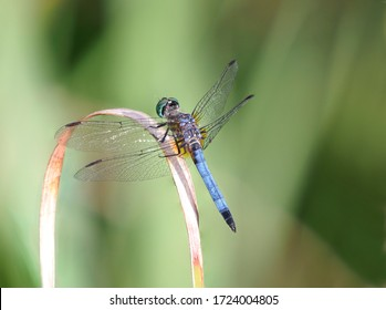 A Focus Stacked Closeup Image of a Blue Dasher Dragonfly with an Out of Focus Green Background