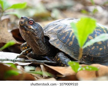 Focus Stacked Closeup Image of an Eastern Box Turtle Amoung the Leaves