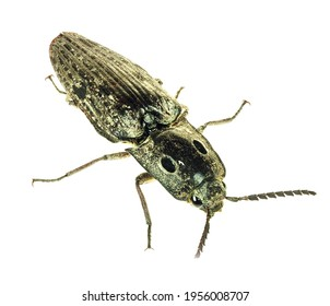 A Focus Stacked Close-up Image of an Eastern Eyed Click Beetle Isolated on White