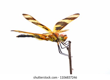 Focus Stacked Close-up Image of a Halloween Pennant Dragonfly Isolated on White
