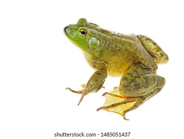 Focus Stacked Closeup Image of a Huge American Bullfrog Sitting   Isolated on White