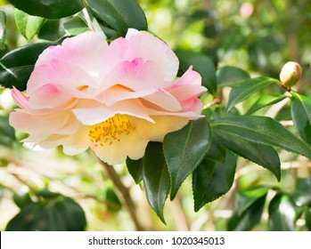 Focus Stacked Close-up Image of Pink and White Camelia on the Bush