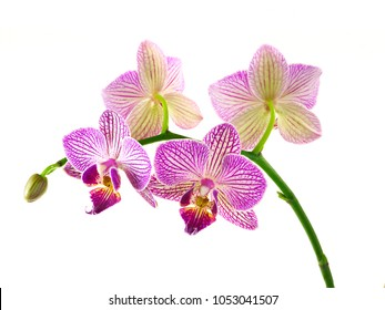 Focus Stacked Closeup Image of Purple and White Orchids Isolated on White
