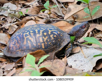 Focus Stacked Image of an Eastern Box Turtle, Crawling Along the Forest Floor