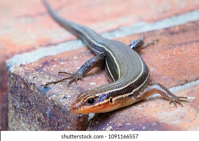 Focus Stacked Image of a Female Broadhead Skink Sunning Itself on Brick Steps