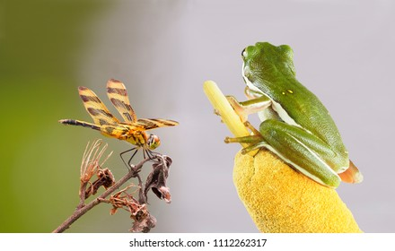 Focus Stacked Image of a Green Squirrel Tree Frog Eyeing a Halloween Pennant Dragonfly