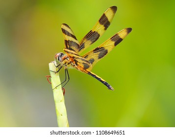 Focus Stacked Image of a Halloween Pennant Dragonfly Against a Out of Focus Green Background