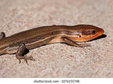 Focus Stacked Image of a Male Broadhead Skink Basking in the Sun on a Carpeted Garage Floor