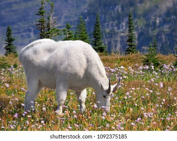 Focus Stacked Image of a Mountain Goat Grazing Among the Wild Flowers, Glacier National Park, Montana