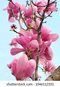Focus Stacked Image of Pink Tulip Tree Blossoms Against a Light Blue Sky