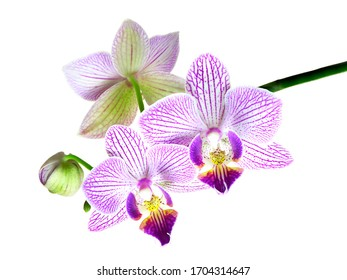 A Focus Stacked Image of Three Orchid Blossoms and One Bud Isolated on White