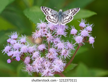Focus Stacked Image of a Tropical Checkered Skipper on Lavendar Saltmarsh Fleabane
