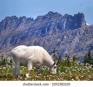 Focus Stacked Image of a White Mountain Goat, Flowers and Mountains at Glacier National Park