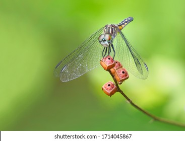 A Focus Stacked Image of a Young Swift Wing Skimmer Dragonfly on a Green Background