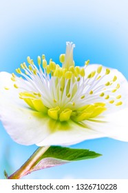 Focus stacked macro of a christmas rose flower blossom