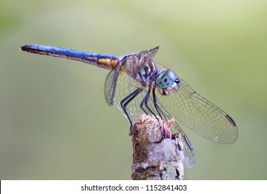 Focus Stacked Macro Image of a Blue Dasher Dragonfly Perched on a Stick with a Green Background