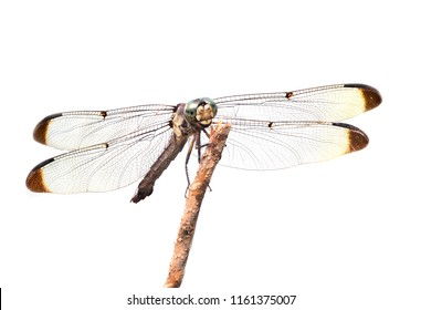 Focus Stacked Macro Image of a Blue Dasher Dragonfly Perched on a Stick Isolated on White