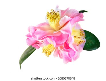 Focus Stacked Triple Pink Camellia Blossom Isolated on White