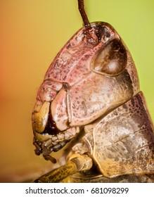 Focus Stacking - Common Field Grasshopper, Field Grasshopper, Grasshopper