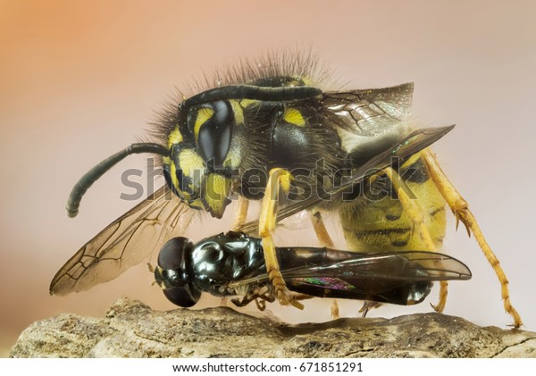 Focus Stacking - Common Wasp, Wasp with prey