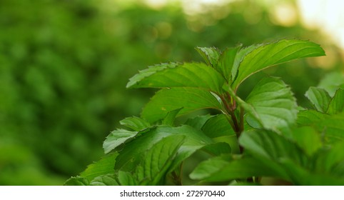 focused fresh mint with blurry green and nature background