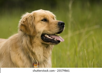 Focused Golden Retriever